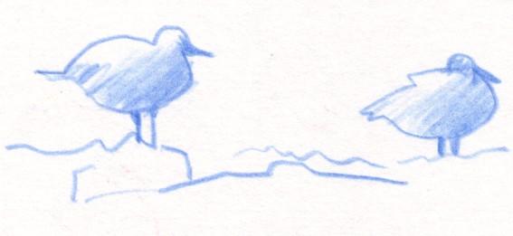 Sea bird sketch, Debra Wenlock